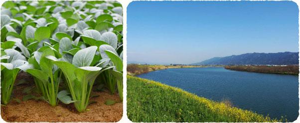 ベジハ—トの野菜が生産されている福岡県久留米市は、九州地方最大級の河川・筑後川中流域の肥沃な沖積土地帯で、排水が良く、 野菜がのびのびと美味しく育つ全国でも有数の野菜産地です